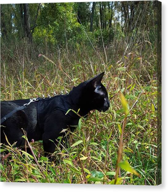 Panthers Canvas Print - I Is Hunting ​#cat #catsofinstagram by Sirius Black Adventure Cat