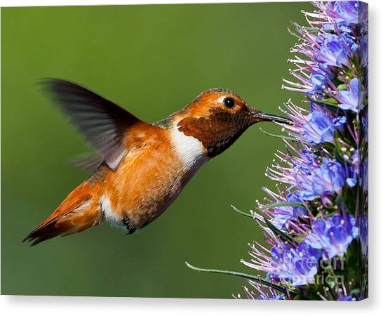 Selasphorus Canvas Print - I Love Purple Nectar..... by Carl Jackson