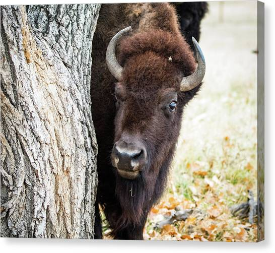 American Bison Peeks Around Tree Canvas Print