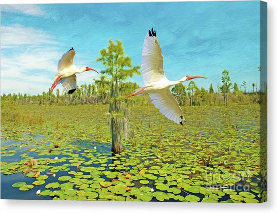 Okefenokee Canvas Print - Ibis At Okefenokee by Laura D Young