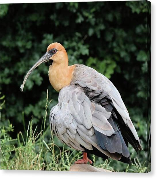 Ibis Canvas Print - #ibis #bird #birdlovers #nature by Elize Aurik