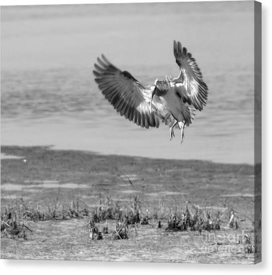 Ibis In Flight 2 Canvas Print by Debbie May