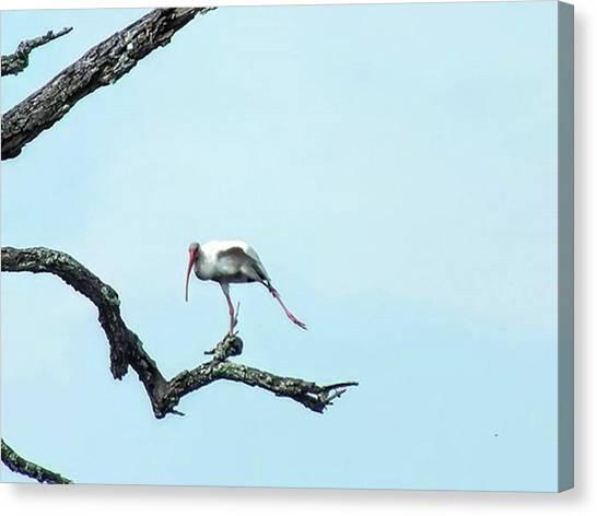Ibis Canvas Print - Ibis Yoga... . . . #ibis #yoga by Cheray Dillon