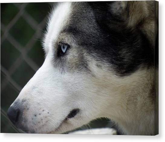 Huskie Canvas Print - Ice Eyes At Denali by Sue Henderson