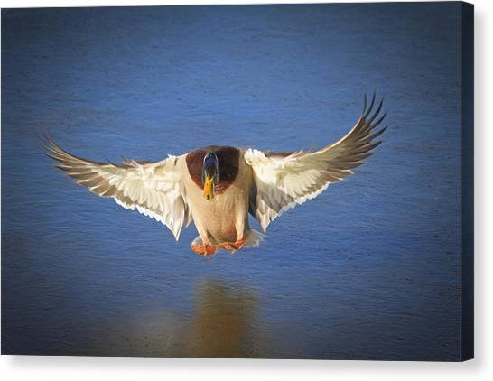Drake Canvas Print - Ice Landing by Donna Kennedy