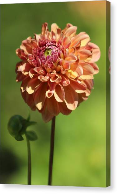 Iced Tea Dahlia In Marzipan And Milano Tones Canvas Print