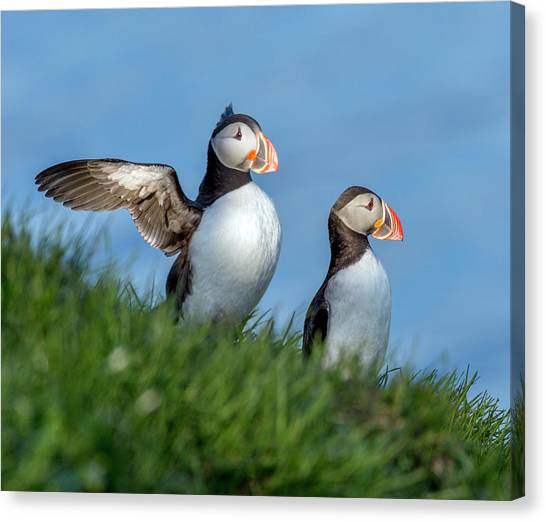 Puffins Canvas Print - Iceland A World Of Puffins by Betsy Knapp