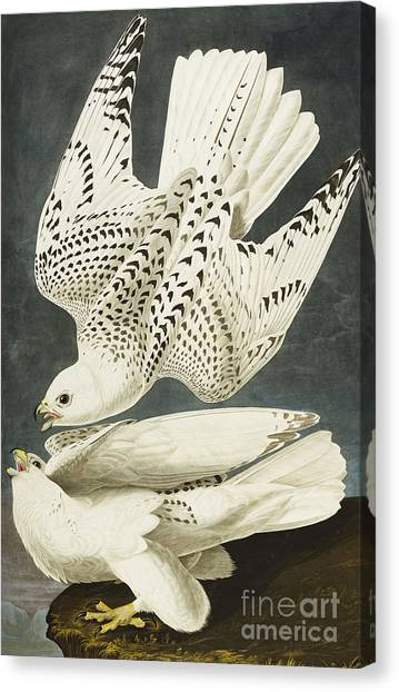 Hawks Canvas Print - Iceland Or Jer Falcon by John James Audubon
