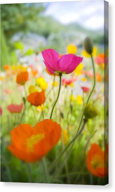 Decorativ Canvas Print - Iceland Poppies by Silke Magino
