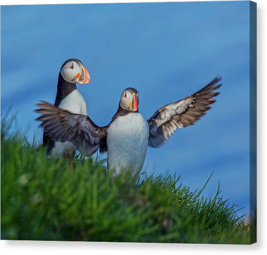 Puffins Canvas Print - Iceland Puffin Paradise by Betsy Knapp