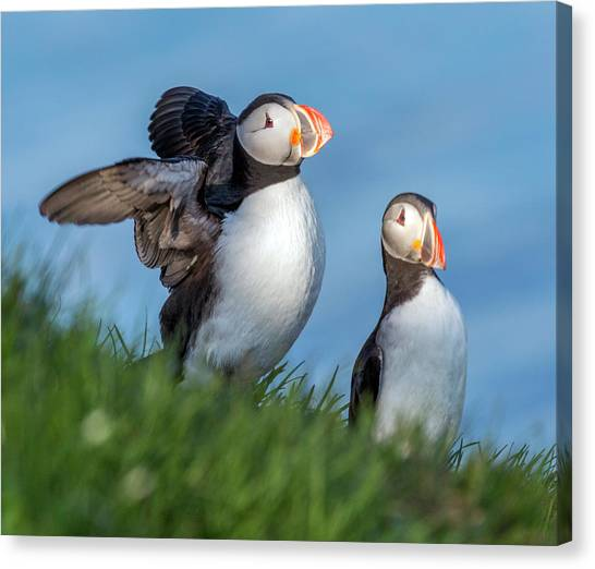 Puffins Canvas Print - Iceland Puffing It Up by Betsy Knapp