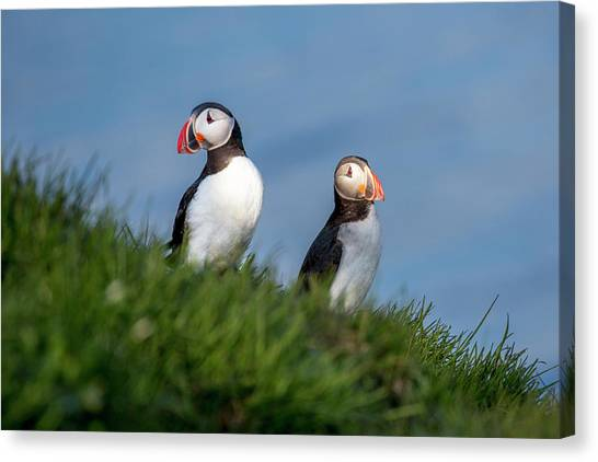 Puffins Canvas Print - Iceland Puffins By The Sea by Betsy Knapp