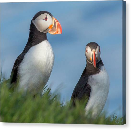 Puffins Canvas Print - Iceland Puffins  by Betsy Knapp