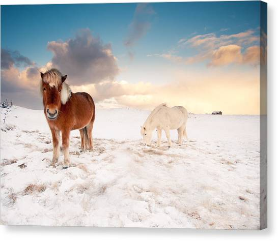 Winter Landscape Canvas Print - Icelandic Horses On Winter Day by Ingólfur Bjargmundsson