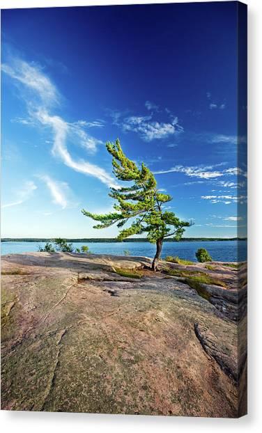 Iconic Windswept Pine Canvas Print