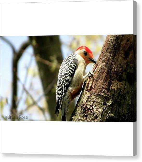 Woodpeckers Canvas Print - If Only I Could Figure Out How To Learn by Adrian DeLeon