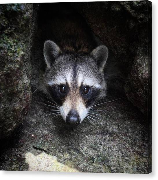 Raccoons Canvas Print - If Only Our Ancestors Had Put A Little by Austyn Goodman
