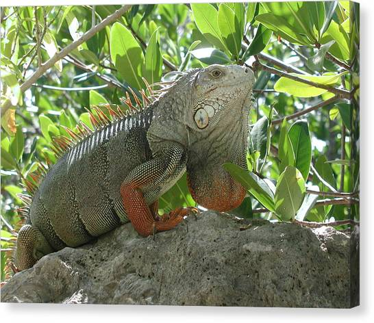 Iguana Daze Canvas Print