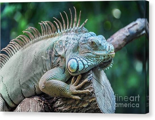Iguanas Canvas Print - Iguana by Delphimages Photo Creations