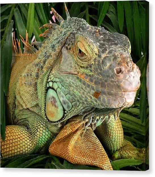 Reptiles Canvas Print - Iguana, #juansilvaphotos #jmsilva59 by Juan Silva