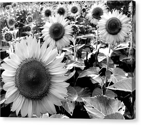 Illinois Sunflowers Canvas Print by Todd Fox