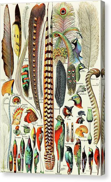 Reference Canvas Print - Illustration Of Feathers And Birds  by Adolphe Philippe Millot