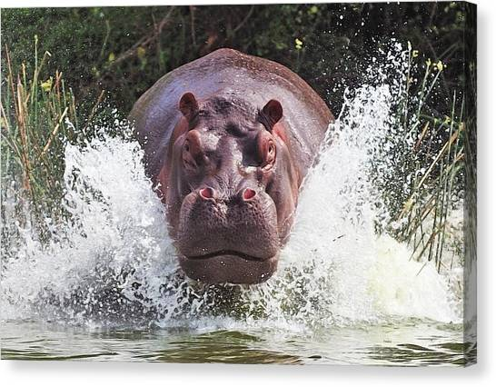 Hippos Canvas Print - I'm Going To Get You !! by Wayne Pearson