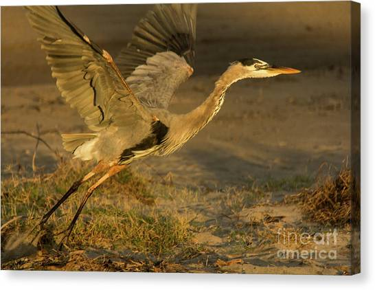 I'm Out Of Here Wildlife Art By Kaylyn Franks Canvas Print