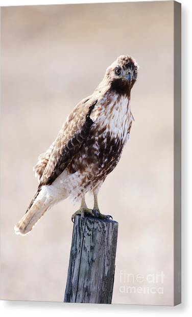 Immature Red Tailed Hawk Canvas Print