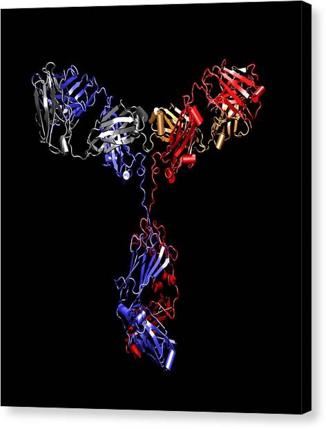 Immunoglobulin G Antibody Canvas Print by Dr Tim Evans