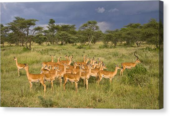 Impala Herd - Serengeti Plains Canvas Print