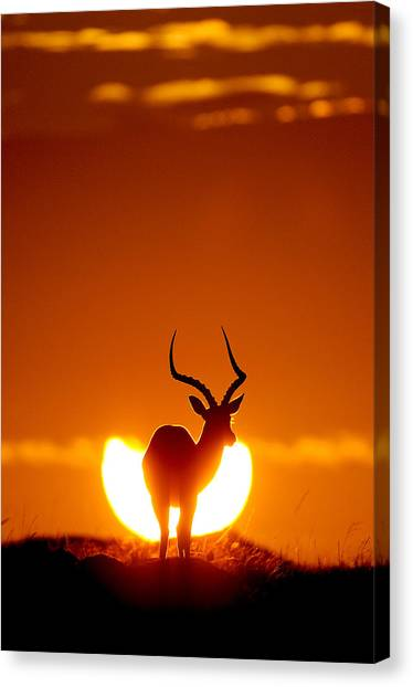 Kenyan Canvas Print - Impala In The Sun by Muriel Vekemans