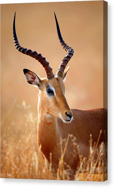 Shoulders Canvas Print - Impala Male Portrait by Johan Swanepoel