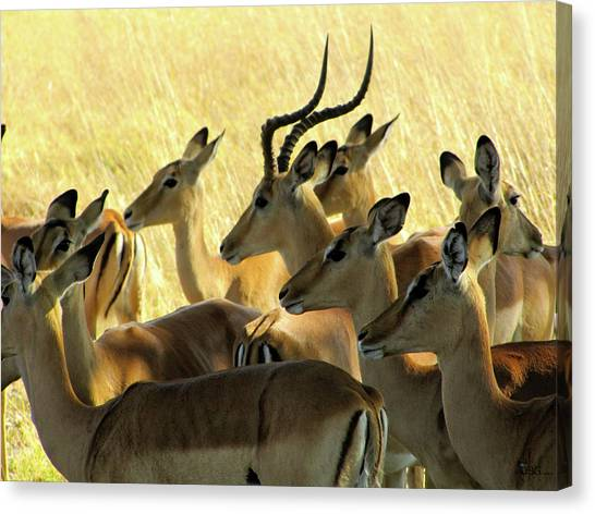 Impalas In The Plains Canvas Print