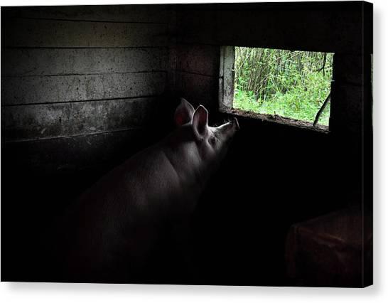Pig Farms Canvas Print - In A Dream by Gediminas Zdanavicius