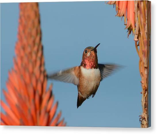 Allens Hummingbird Canvas Print - In Between The Aloe by Fraida Gutovich