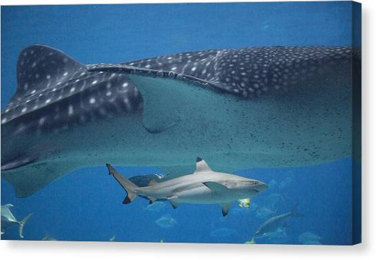 Black Tip Sharks Canvas Print - In Good Company by Betsy Knapp