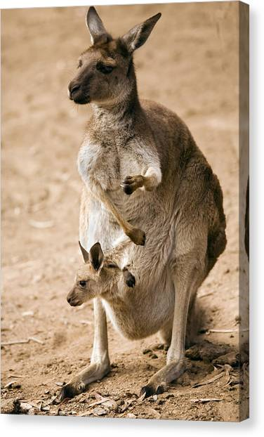 Kangaroo Canvas Print - In  Mother's Care by Mike  Dawson