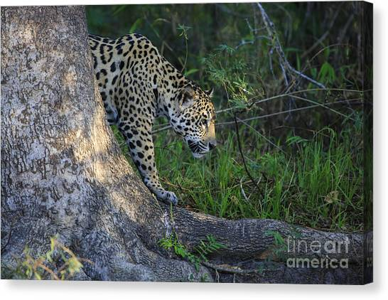 The Pantanal Canvas Print - In The Clear by Leigh Lofgren
