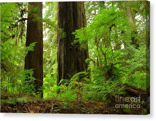Redwood Forest Canvas Print -  In The Land Of Giants by Jeff Swan