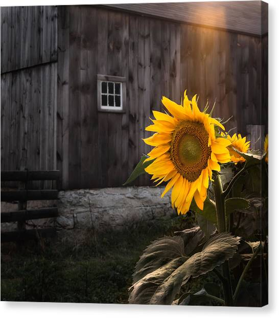 Sunflower Canvas Print - In The Light by Bill Wakeley