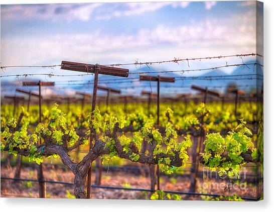 In The Vineyard Canvas Print