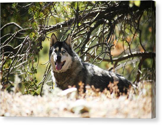 Huskie Canvas Print - In The Wild by Marilyn Hunt