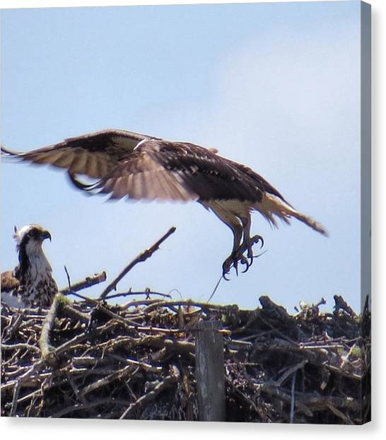 Osprey Canvas Print - Incoming #birds #beauty #nature by John Repoza