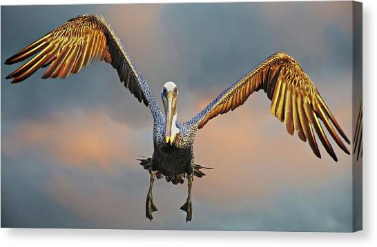 Incoming II, California Brown Pelican Canvas Print