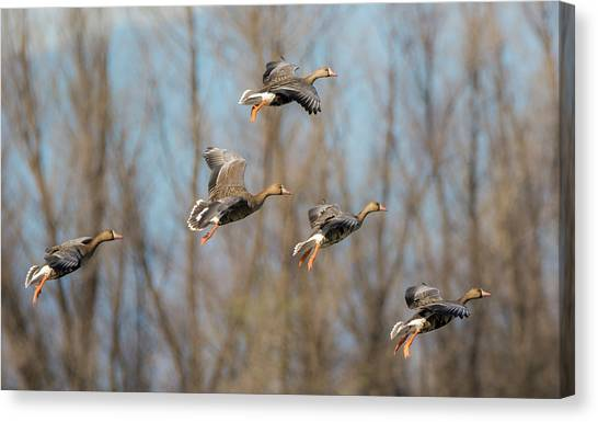 Incoming White-fronted Geese Canvas Print