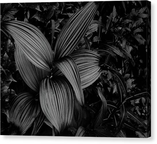 Canvas Print featuring the photograph Indian Hellebore 1 by Trever Miller
