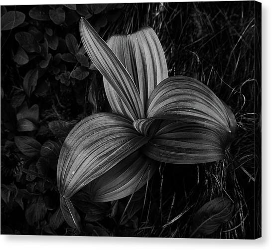 Canvas Print featuring the photograph Indian Hellebore 2 by Trever Miller