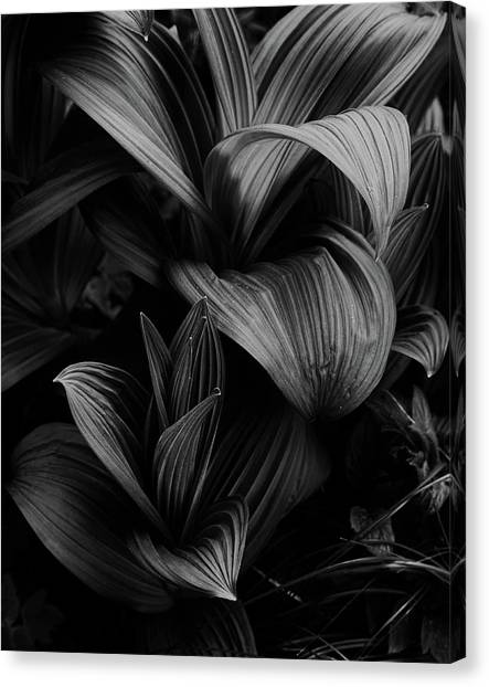 Canvas Print featuring the photograph Indian Hellebore 4 by Trever Miller