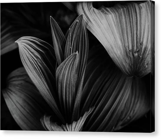 Canvas Print featuring the photograph Indian Hellebore 5 by Trever Miller